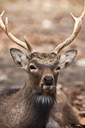 Whitetailed Deer Posters - Whitetail Buck Deer Poster by Brandon Alms
