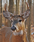 Michael Peychich - Whitetail buck_1111