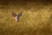 White-tail Deer Posters - Whitetail Deer in Wheat Field Poster by Tom Mc Nemar