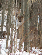 Theresa Kocka - Whitetail Doe Peek