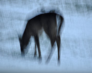 Whitetail Dreams Print by Diane E Berry