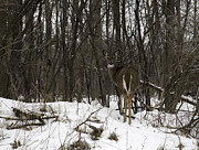 Whitetail Deer Framed Prints - Whitetail In The Winter Framed Print by Thomas Young