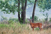 Velvet Framed Prints - Whitetail In Velvet Framed Print by Dale Kincaid