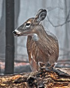 Michael Peychich - Whitetail on a Foggy Morning