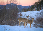 Two Deer Framed Prints - Whitetails at Dusk Framed Print by Idaho Scenic Images Linda Lantzy