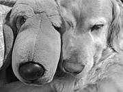 Sleeping Dogs Prints - Who has the biggest Nose Golden Retriever Dog  Print by Jennie Marie Schell