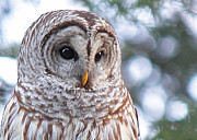 Barred Owl Posters - Who Me Poster by Randy Hall