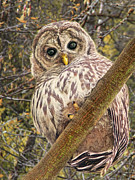 Baby Bird Posters - Who Who Are You Barred Owlet Poster by Jennie Marie Schell