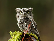 Shelley Myke Art - Whooo Goes There... Eastern Screech Owl  by Inspired Nature Photography By Shelley Myke