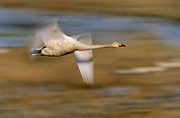 Flying Swan Photos - Whooper Swan Cygnus Cygnus Flying by Winfried Wisniewski