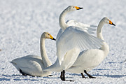 Natural Focal Point Photography - Whooper Swans