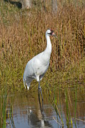 Foundation 1 Posters - Whooping Crane Feeding Poster by Chris Tennis