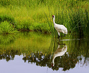 Barbara Smith Metal Prints - Whooping Crane I Metal Print by Barbara Smith