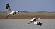 Whooping Crane Framed Prints - Whooping Crane Pair Framed Print by Richard Mason