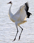 Crane Migration Prints - Whooping Crane - Whooping it up Print by Tony Beck
