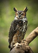 Shelley Myke Prints - Whoos Watching Me Great Horned Owl in the Forest  Print by Inspired Nature Photography By Shelley Myke