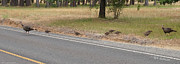 Mick Anderson - Why Did the Turkeys Cross the Road