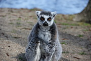 Ring-tailed Lemur Photos - Why so serious  by Jackie Mestrom
