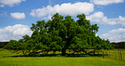 Overhang Digital Art - Wide Oak by Jerry Hart