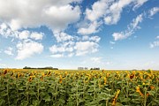 Sandra Cunningham - Wide open fields of sunflowers