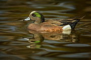 Ducks Unlimited Prints - Wigeon Print by Jack Milchanowski