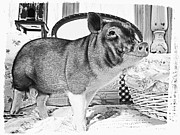Potbelly Pig Framed Prints - Wilber Smiles for the Camera Framed Print by Susan Stone