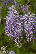 Kathy Clark - Wild Alabama Wisteria...