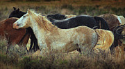 Wild Mustangs Posters - Wild and Free.. Poster by Al  Swasey