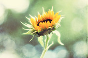 Sunflower Photograph Posters - Wild and Free Poster by Amy Tyler
