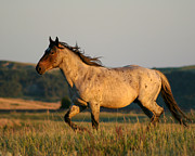 Roaming Posters - Wild Appaloosa at Sunset Poster by Sabrina L Ryan
