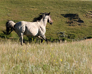 Roaming Posters - Wild Appaloosa Running away Poster by Sabrina L Ryan