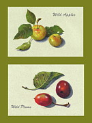 Apples Drawings Posters - Wild Apples And Plums Poster by Joyce Geleynse