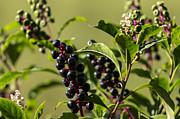 Lynn Palmer - Wild Berries