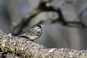 Wild Animals Digital Art Metal Prints - Wild Birds - Chipping Sparrow Metal Print by Christina Rollo
