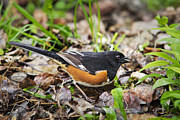 Wild Animals Digital Art Metal Prints - Wild Birds - Eastern Towhee Metal Print by Christina Rollo