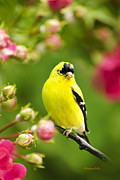 Spinus Tristis Prints - Wild Birds - Garden Goldfinch Print by Christina Rollo