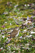 Wild Animals Digital Art Metal Prints - Wild Birds Hermit Thrush Metal Print by Christina Rollo