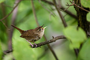 Wrens Prints - Wild Birds - House Wren Print by Christina Rollo