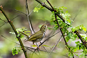 Warblers Framed Prints - Wild Birds - Ovenbird Framed Print by Christina Rollo