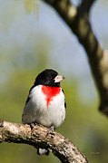 Wild Animals Digital Art - Wild Birds - Rose-Breasted Grosbeak by Christina Rollo