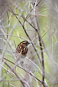 Wild Animals Digital Art Metal Prints - Wild Birds - White-Throated Sparrow Metal Print by Christina Rollo