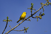 Perch Digital Art - Wild Birds - Yellow Warbler by Christina Rollo