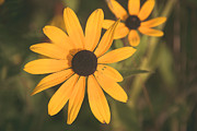 Black Eyed Susan Print Prints - Wild Black Eyed Susans Print by Stacy Abbott
