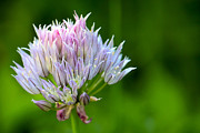 Close Up Floral Framed Prints - Wild Blue - Chive Blossom Framed Print by Adam Romanowicz