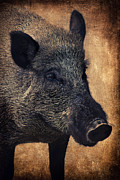 Wild Animals Mixed Media Posters - Wild boar  Poster by Angela Doelling AD DESIGN Photo and PhotoArt
