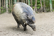 Razorbacks Photos - Wild Boar by JPLDesigns