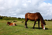 James Brunker - Wild Bodmin Pony and Foal