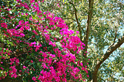 Florida Florals Photos - Wild Bouganvillea by Aimee L Maher