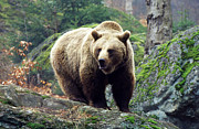 Roaming Photo Posters - Wild Brown Bear Poster by Anonymous