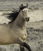 Wild Horses Prints - Wild Buckskin Stallion Runs Print by Carol Walker
